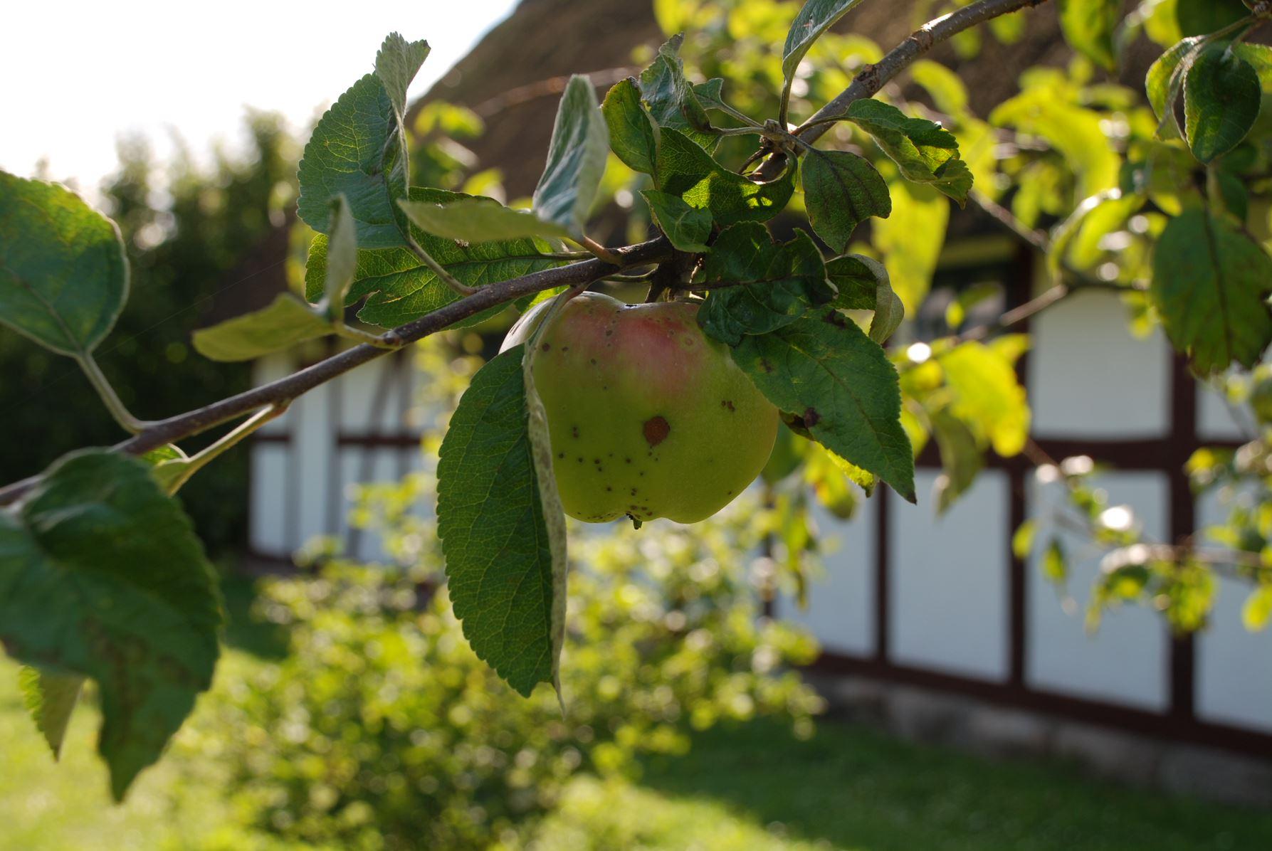 Æblemost på Glud Museum